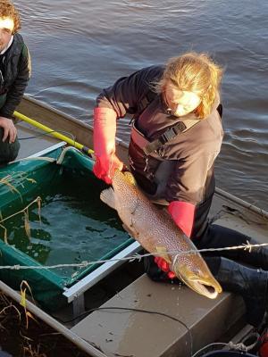 Foto zur Meldung: Lachse in der Schafflunder Au