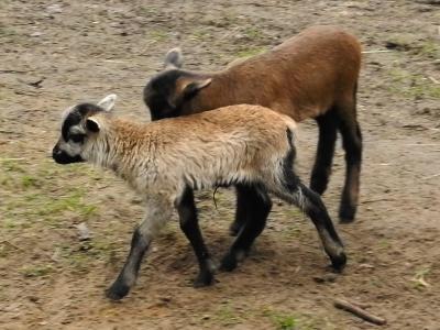 Vorschaubild zur Meldung: Erste Geburten im Perleberger Tierpark