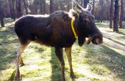Foto zur Meldung: Brandenburger Elch künftig mit Sender unterwegs