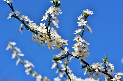 pflaumenblüte-blüte-pflaumenbaum-3301898