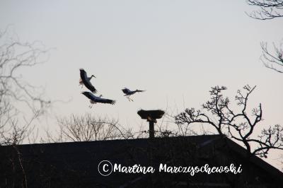 Foto zur Meldung: Kampf ums Storchennest