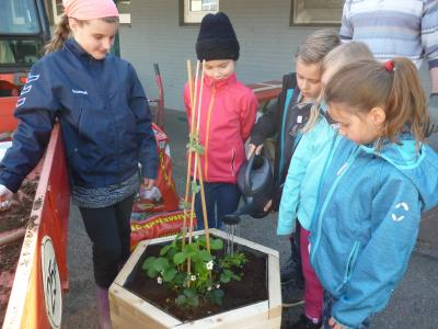 Foto zur Meldung: Wir pflanzen Erdbeeren