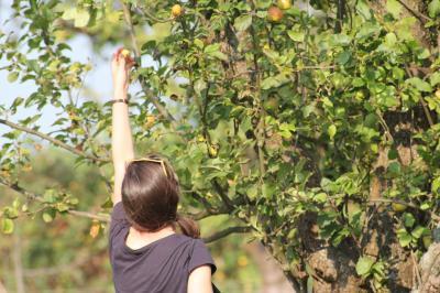 Vorschaubild zur Meldung: Apfelsaft von der Streuobstwiese - Ernteaktion in Rüdersdorf!
