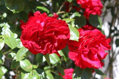 Vorschaubild zur Meldung: Pflanzaktion zur Landesgartenschau: Rosen für Wittstock