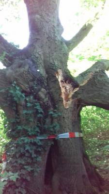Foto zur Meldung: Baumschnitt im Emscherpark