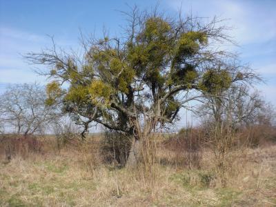 Die Mistel ist in vielen Bäumen zu finden. Wenn sie sehr stark auftritt, kann sie die befallenen Bäume schädigen. Dann wird zum Rückschnitt geraten.