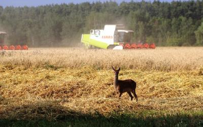 Die Getreideernte war bereits am 19.7.2018, so früh wie noch nie in der Agrargenossenschaft Frauendorf abgeschlossen. Hier Drusch in der Flur Kroppen, im Vordergrund ein flüchtendes Hirschkalb.
