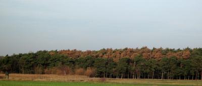 Weithin rotbraun leuchtende Kiefernkronen im Wald bei Staupitz. Diesen Kiefern geht es nicht gut. (Foto: S. Götze)