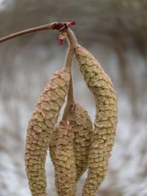 Foto zur Meldung: Was blüht im Februar in Nauheim – der Haselstrauch (Corylus avellana)