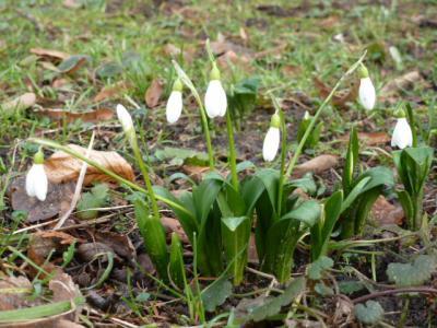 Schneeglöcken als erster Frühlingsbote sind schon da. Foto: Ulrich Jarke