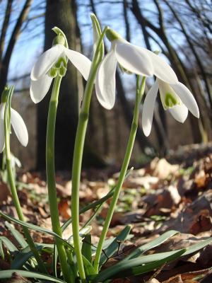 Foto zur Meldung: Was blüht im März in Nauheim – das Schneeglöckchen (Galanthus spec.)
