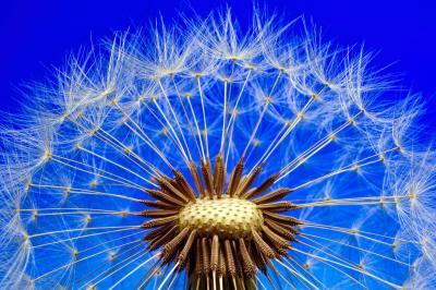 https://pixabay.com/de/photos/natur-pusteblume-l%C3%B6wenzahn-makro-3092555/