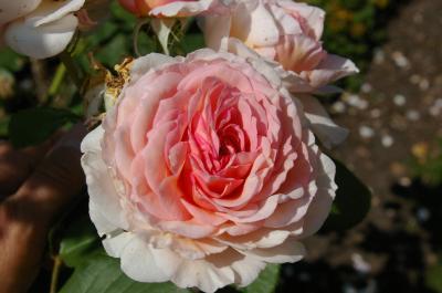 Foto zur Meldung: Workshop: Damit Rosen üppig blühen