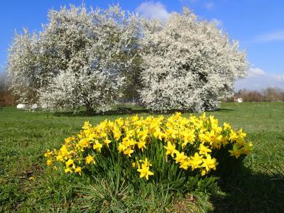 Foto zur Meldung: Was blüht im April in Nauheim – Narzissen (Narzissus spec.) und Kirschpflaumen (Prunus cerasifera)