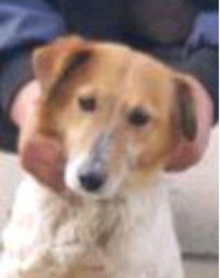 """Vorschaubild zur Meldung: Fundhund """"Jack Russel Terrier"""" zwischen Ganschendorf und Gatschow gefunden"""