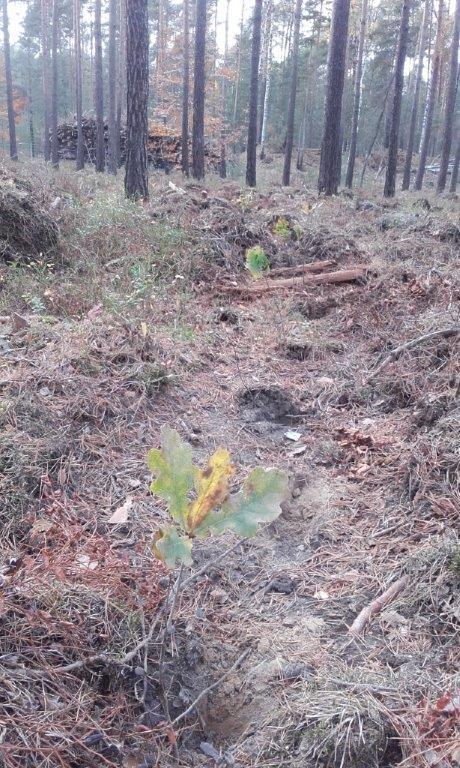 Pflanzung Traubeneiche