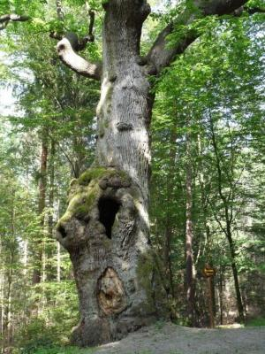 Eulenbaum im Kaufunger Wald (c) Susanne Pfingst
