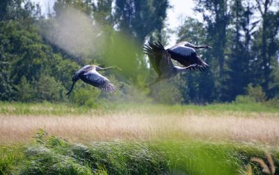 Kraniche auf den Stemmwiesen (Foto: Stiftung Naturlandschaft)