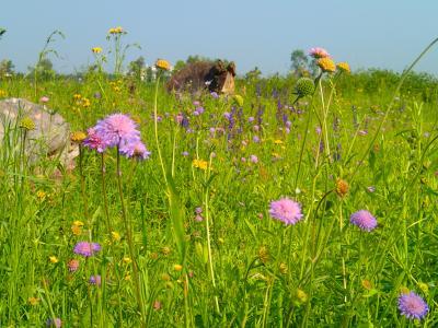Foto zur Meldung: Was blüht im Juni in Nauheim – Wiesenblumen