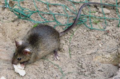 Foto zur Meldung: Unterstützung bei der Rattenbekämpfung
