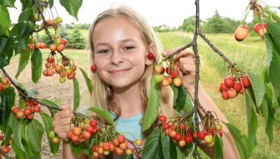 Foto zur Meldung: Traditionelle Kirschernte in Hohenleipisch
