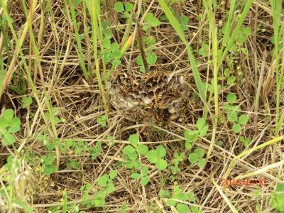 Eine der Wespenarten, die sich nicht um unsere Marmelade kümmert: die Feldwespe. Wie hier zu erkennen, baut sie keine Hülle um das Nest. Die untere Naturschutzbehörde des Landkreises steht bei Fragen zum Thema gern zur Verfügung. (Fotos Landkreis)
