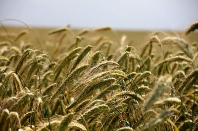 Getreide - pixabay