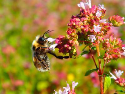 Foto zur Meldung: Was blüht im August in Nauheim – Oregano (Origanum vulgare)