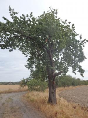 Vorschaubild zur Meldung: Baumpaten gesucht