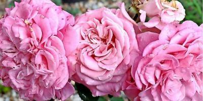 Foto zur Meldung: MAZ berichtete: Ein Rundgang durch den Garten von Ines Lehmann zeigt die prächtige Blütenschönheit
