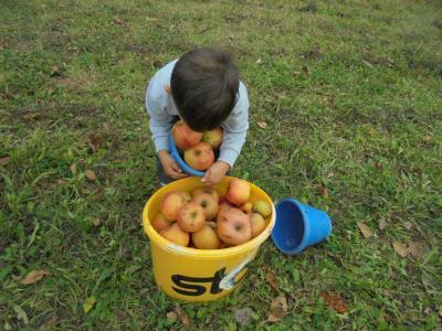 Vorschaubild zur Meldung: Der Kindergarten Pfarracker beim Äpfel-Aufsammeln