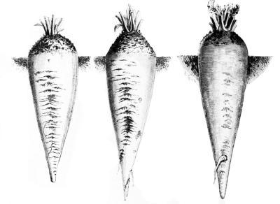 Zuckerrüben, Grafik aus dem 18. Jahrhundert.