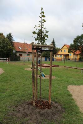 die frisch gepflanzte Linde auf dem öffentlichen Spielplatz in Hohenbruch