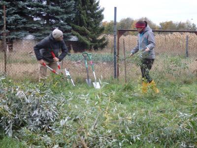 Vorbereitung von Weidensteckhölzern durch Mitarbeiter des LPV Nordwestsachsen