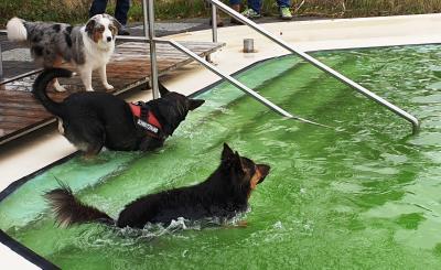 Das erste Hunschwimmen im Freizeitbad Grasleben wurde sehr gut angenommen. (Foto: Samtgemeinde Grasleben)