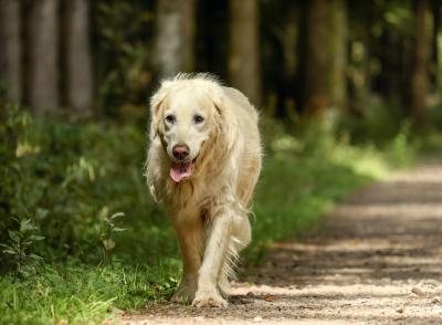 https://pixabay.com/de/photos/golden-retriever-hund-retriever-2701033/