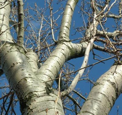 Vorschaubild zur Meldung: Bäume zur Selbstabholung abzugeben