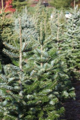 Foto zur Meldung: Save the date: Weihnachtsbaumeinsammeln 2020