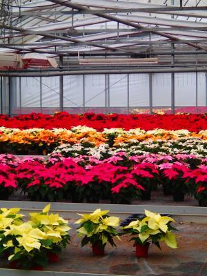 Foto zur Meldung: Was blüht im Dezember in Nauheim? – Der Weihnachtsstern (Euphorbia pulcherrima)