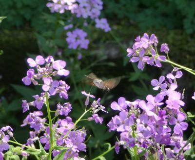 Bild der Meldung: Maintals insektenfreundlichster Vorgarten gesucht