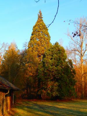 Riesenmammutbäume am Odenwald-Klub-Haus, gepflanzt im Jahr 1977