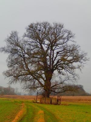Foto zur Meldung: Baum des Monats – Die Ulme