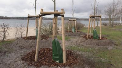 Foto zur Meldung: 42 Linden am Grünewalder Lauch gepflanzt