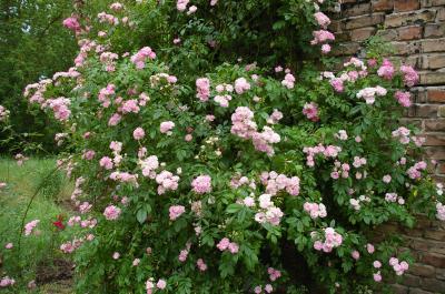 Foto zur Meldung: Jährliches Rosenfest in Wittstock? Rosenfreunde haben mit den Initiatoren beraten