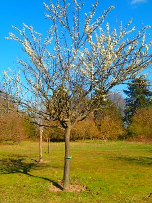 Foto zur Meldung: Baum des Monats – Die Mirabelle