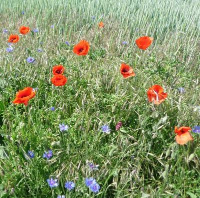 Mit Mohnblumen gedenken die Briten ihrer Gefallenen, Foto S. Weber