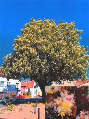 Rosskastanie am Friedrich-Ebert-Platz, unten rechts: Blüten