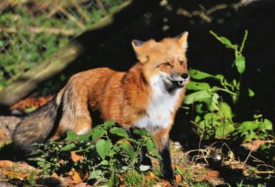 Vorschaubild zur Meldung: Füchse in Adelberg unterwegs
