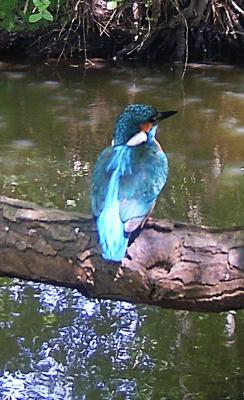 Foto zur Meldung: Ein Eisvogel-Pärchen am Mühlenstrom