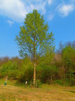 Foto zur Meldung: Baum des Monats – Die Europäische Schwarzpappel (Populus nigra)